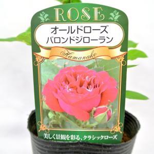バラ苗 オールドローズ【バロン ジロー ドゥ ラン】3.5号ロングポット ばら 新苗 返り咲き|rose-factory