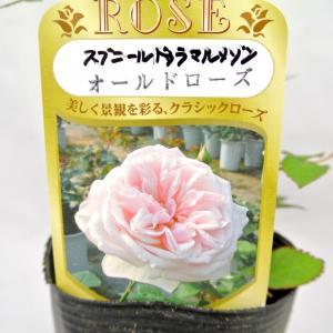バラ苗 オールドローズ【スヴニール ドゥ ラ マルメゾン】3.5号ロングポット ばら 新苗 四季咲き|rose-factory