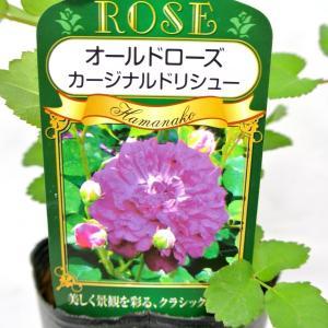 バラ苗 オールドローズ【カーディナル ドゥ リシュリュー】3.5号ロングポット ばら 新苗 一季咲き|rose-factory