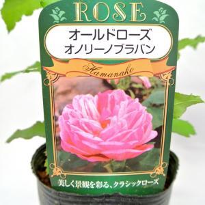 バラ苗 オールドローズ【オノリーヌ ドゥ ブラバン】3.5号ロングポット ばら 新苗 四季咲き|rose-factory