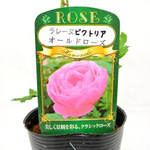 バラ苗 オールドローズ【ラ レーヌ ビクトリア】3.5号ロングポット ばら 新苗 返り咲き|rose-factory
