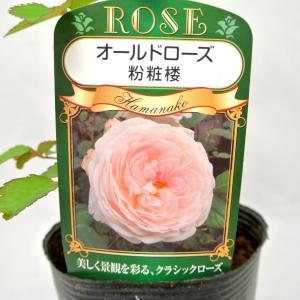 バラ苗 オールドローズ【フンショウロウ 粉粧楼】3.5号ロングポット ばら 新苗 四季咲き|rose-factory
