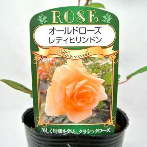 バラ苗 オールドローズ【レディ ヒリンドン】3.5号ロングポット ばら 新苗 四季咲き|rose-factory