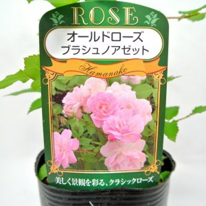 バラ苗 オールドローズ【ブラッシュ ノアゼット】3.5号ロングポット ばら 新苗 四季咲き|rose-factory