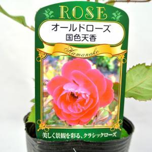 バラ苗 オールドローズ【クォステンシャン 国色天香】3.5号ロングポット ばら 新苗 四季咲き|rose-factory