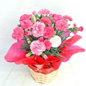母の日 カーネーション さくらもなか 5号鉢 送料無料 大人気品種 底面給水鉢 かご付き 長春園 Mother's Day|rose-factory