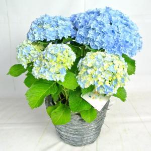 母の日 Mother's Day アジサイ 星てまり 新品種 長野県限定生産品種 5号鉢 送料無料|rose-factory