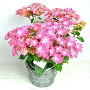 母の日 Mother's Day アジサイ いろは 新品種 長野県限定生産品種 5号鉢 送料無料|rose-factory