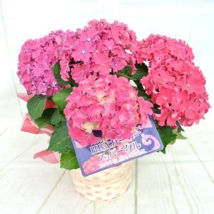 母の日 Mother's Day アジサイ HBA カーリー スパークル 【ピンク】5号鉢 渥美半島限定品種 希少品種 新品種 あじさい 紫陽花 送料無料|rose-factory