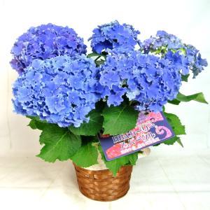 母の日 Mother's Day アジサイ HBA カーリー スパークル 【ブルー】5号鉢 渥美半島限定品種 希少品種 新品種 紫陽花 送料無料 誕生日 お祝い|rose-factory