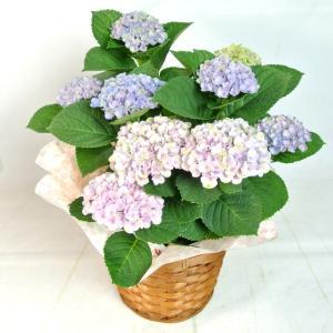 母の日 Mother's Day アジサイ マジカルレボリューション レインボー 5号鉢 プレミアム品種 色が変わる 希少品種 かご付き 送料無料|rose-factory