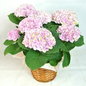 母の日 Mother's Day アジサイ マジカルレボリューション ピンク 5号鉢 プレミアム品種 色が変わる 希少品種 かご付き 送料無料|rose-factory