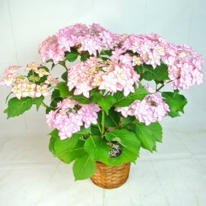 母の日 Mother's Day アジサイ ひな祭り ピンク 5号鉢 プレミアム品種 新品種 希少品種 かご付き 送料無料|rose-factory