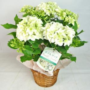 母の日 Mother's Day アジサイ ダブルダッチ ゴーダホワイト 5号鉢 八重咲き品種 プレミアム品種 新品種 希少品種 かご付き 送料無料|rose-factory