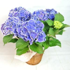 母の日 Mother's Day アジサイ ホットチボリ ブルー 5号鉢 大人気品種 色合いがきれい かご付き 送料無料|rose-factory