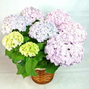 母の日 Mother's Day アジサイ てまりてまり ピンク系 5号鉢 かご付き 送料無料 大人気品種 |rose-factory