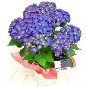 母の日 Mother's Day アジサイ ディープパープル 5号鉢 希少品種 新品種 秋色に変化する あじさい 紫陽花 送料無料 かご付き|rose-factory