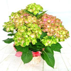 母の日 アジサイ マジカル グリーンファイヤー 5号鉢 ハイドランジア 色が変わるアジサイ かご付き ■送料無料■ Mother's Day お祝 誕生日 記念日|rose-factory