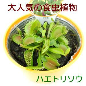 食虫植物 ハエトリグサ ハエトリソウ 3.5号鉢 大人気 ハエジ ゴク ディオネア