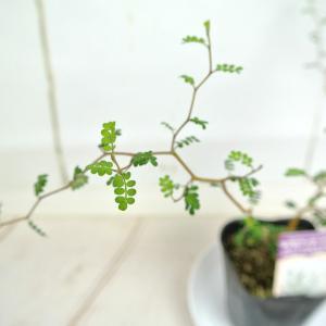 ソフォラ ミクロフィラ【3号】メルヘンの木 リトルベイビー おしゃれな木 観葉植物 rose-factory 03