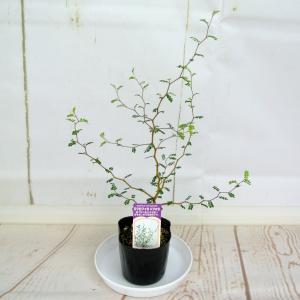 ソフォラ ミクロフィラ【3号】メルヘンの木 リトルベイビー おしゃれな木 観葉植物 rose-factory 04