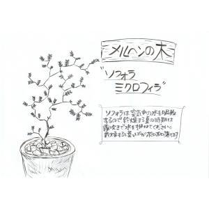 ソフォラ ミクロフィラ【3号】メルヘンの木 リトルベイビー おしゃれな木 観葉植物 rose-factory 06