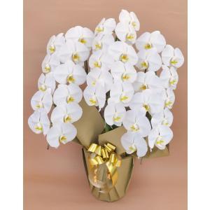 胡蝶蘭 大輪 3本立ち 33輪以上 白 お祝 開店祝い ギフト 開業祝い 新築祝い  rose-factory