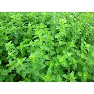 ハーブ苗 オレガノ/9cmポット|rose-herb