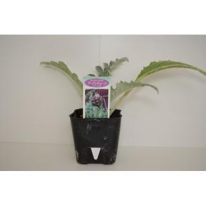 ハーブ苗 アーティチョーク/9cmポット|rose-herb