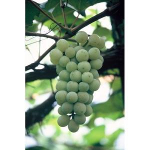 果樹苗 ブドウ ナイヤガラ/12cmポット|rose-herb