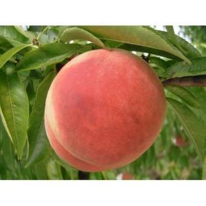 果樹苗 桃 山根白桃(やまねはくとう)/12cmポット|rose-herb