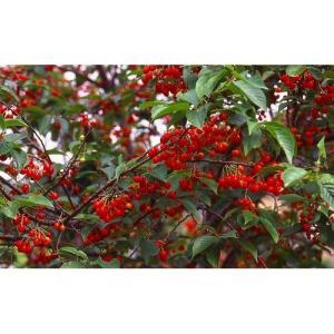 果樹苗 さくらんぼ 暖地/12cmポット|rose-herb