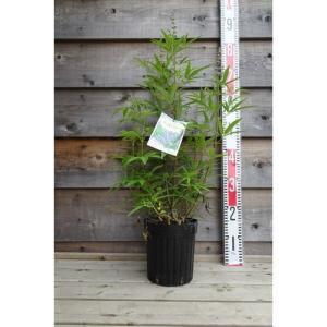 落葉樹 チェストベリー 西洋ニンジンボク/6号鉢|rose-herb
