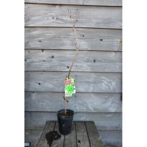 果樹苗 シャインマスカット|rose-herb