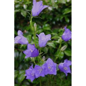 大森プランツ カンパニュラ パーシーフォリア/9cmポット|rose-herb