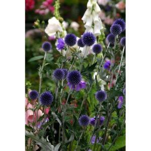 大森プランツ エキノプス ブルー/9cmポット|rose-herb