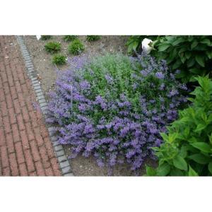 大森プランツ ネペタ シックスヒルズジャイアント/9cmポット|rose-herb