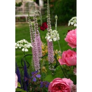 大森プランツ ベロニカ フェアリーテイル/9cmポット|rose-herb