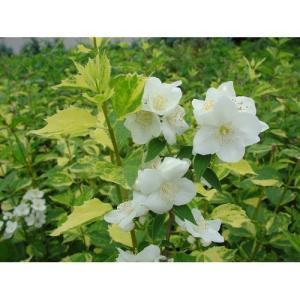植木 バイカウツギ イノセンス/15cmポット|rose-herb