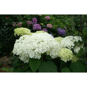 剪定によって毎年同じ高さで花が楽しめる、アジサイです。 ●アジサイ科アジサイ属落葉低木。