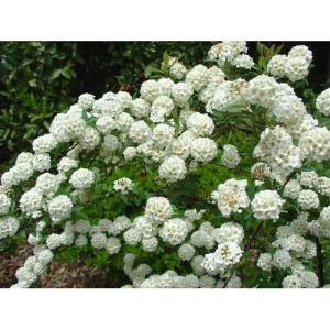 花木 コデマリ/6号鉢|rose-herb