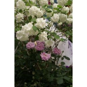 花木 ビバーナム スノーボール/15cmポット|rose-herb