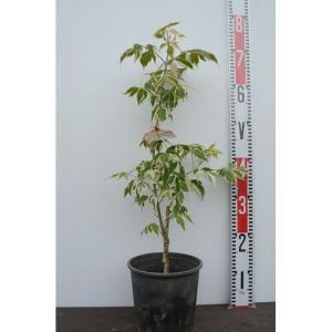植木 ネグンドカエデ フラミンゴ/6号鉢|rose-herb