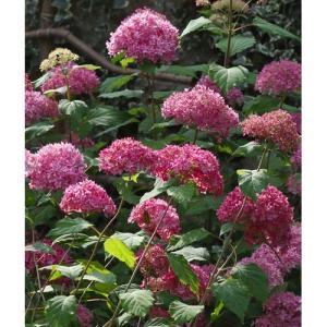 剪定によって毎年同じ高さで花が楽しめる、ピンク品種です。 ●アジサイ科アジサイ属落葉低木。