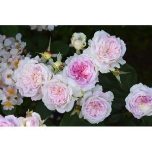 淡いクリームホワイト地にうっすら紫がかったピンクの花。 ●花色:白地にライラックピンクのブラッシュ●...