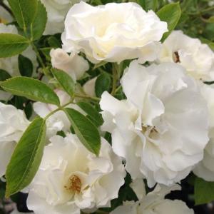 【作出年】 1936年 【学 名】 Summer Snow  【樹 高】 3.0m〜4.0m 【花弁...
