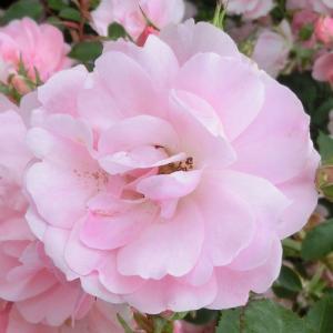 バラ苗 2年大株苗 サマーウィンド 修景 4号鉢   rose-m