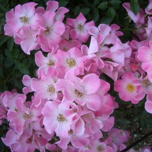 バラ苗 2年大株苗 クンバヤ 修景 4号鉢  rose-m