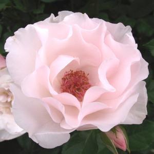 バラ苗 2年大株苗 パールミラト 修景 4号鉢     rose-m