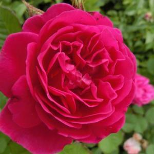 バラ苗 2年大株苗 カール4世 レンズ 中輪  4号鉢   |rose-m